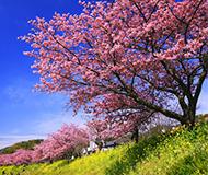 東伊豆が最も賑わう春の風物詩 (河津町観光協会2月10日頃~3月10日頃)